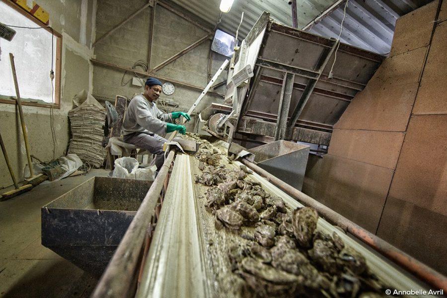 Ovive, la seconde vie des coquilles d'huîtres