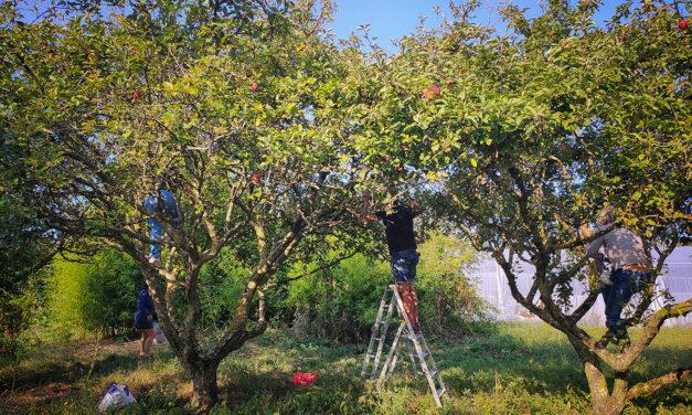 Aux arbres citoyens ! : l'initiative anti-gaspi sème ses cueillettes solidaires