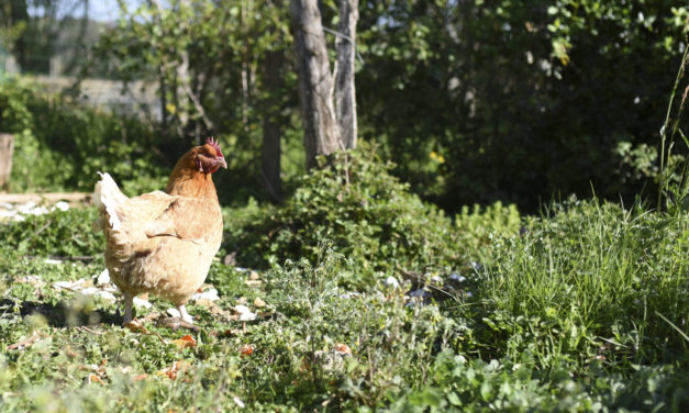 Ils sauvent les poules des abattoirs